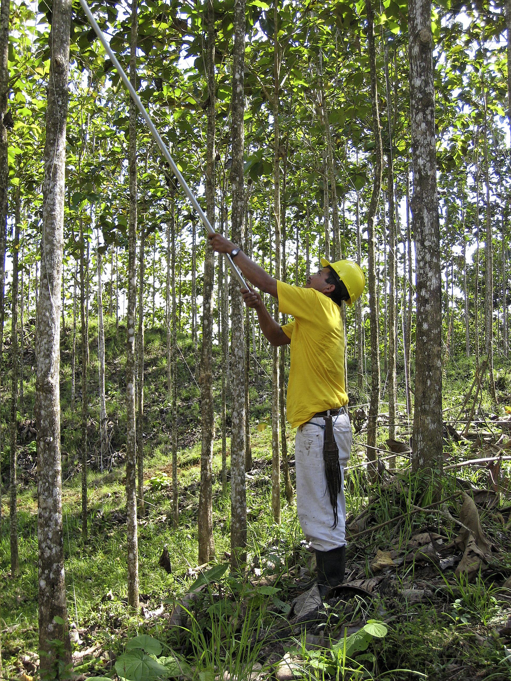 Teakbaum plantage  THI-AG_Teak-Plantagen-Pflege-Astschnitt_Costa-Rica.jpg